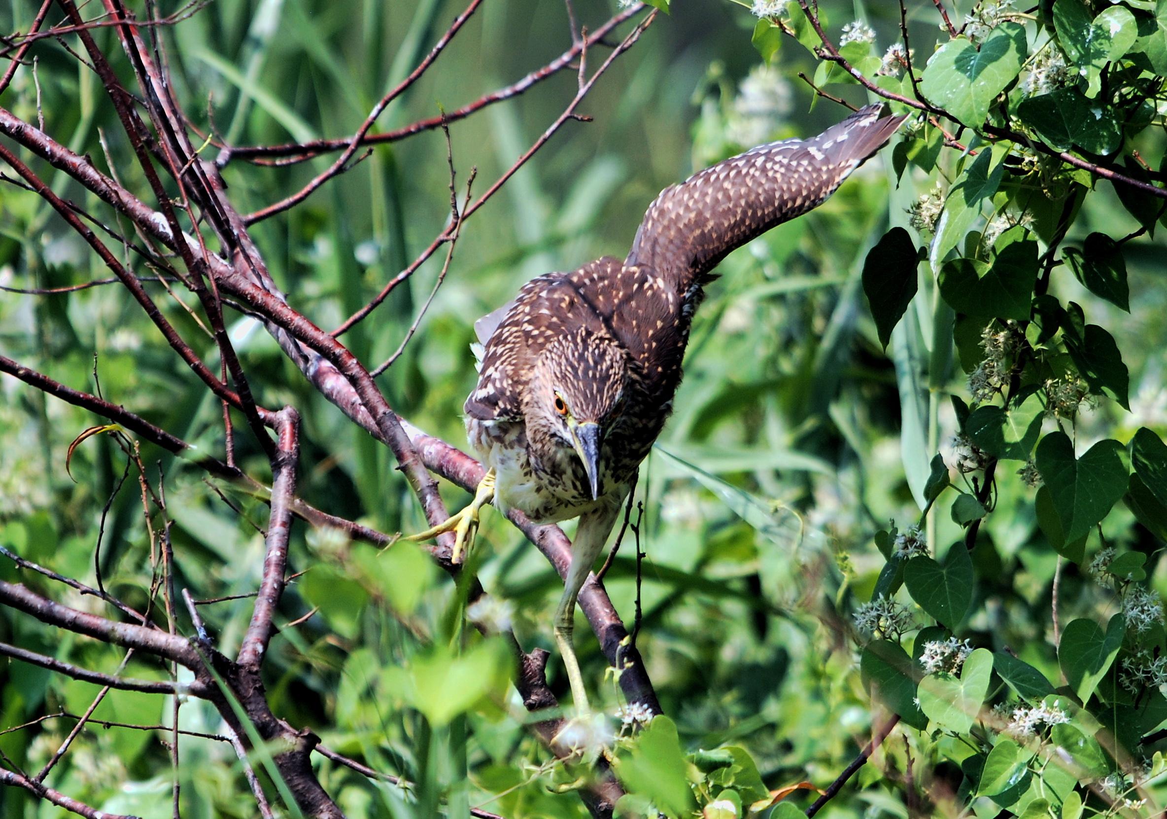 夜鹭是国家二级保护动物
