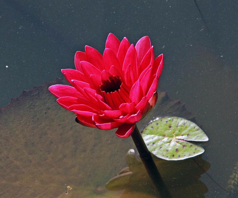 谁于水面张青盖,罩却红妆唱采莲. 冯夷不敢受,捧出碧波心.