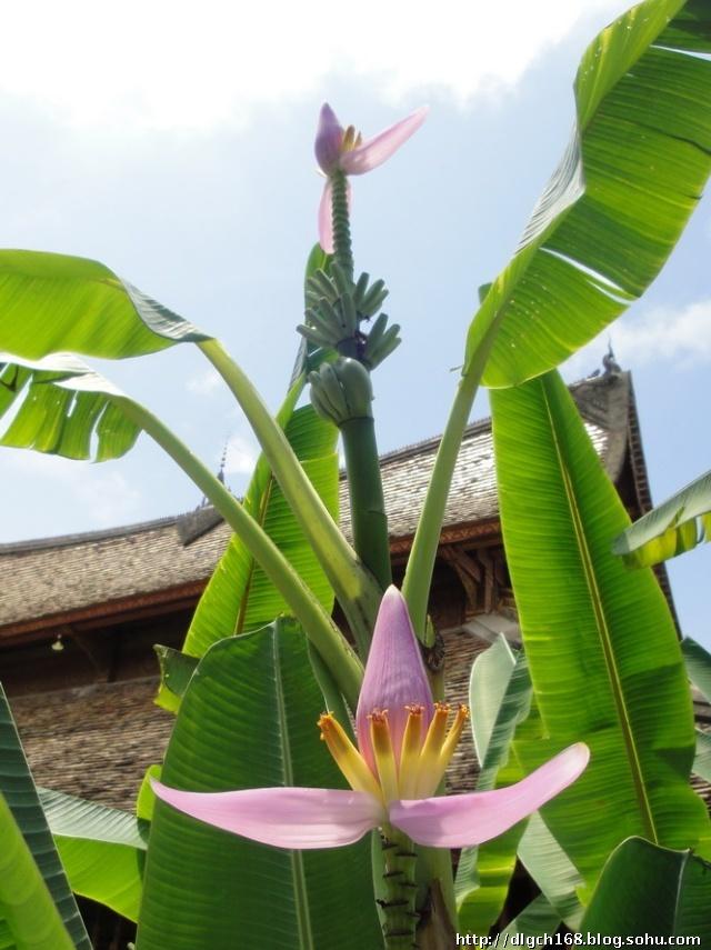 野生香蕉树