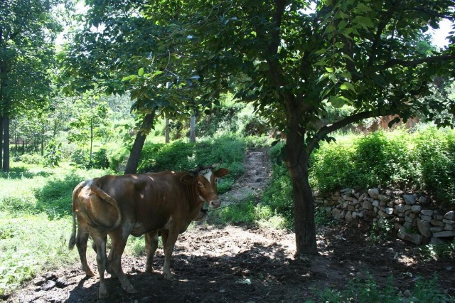 树下乘凉的老牛