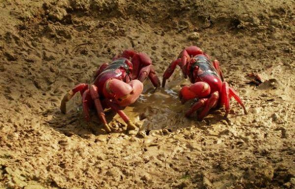 值得一提的是,圣诞岛上的椰子蟹数量也是世界上最多的.