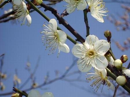 撩梅风景树图片