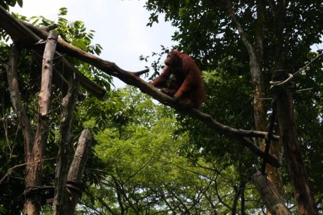 新加坡民丹岛亲子游——新加坡动物园