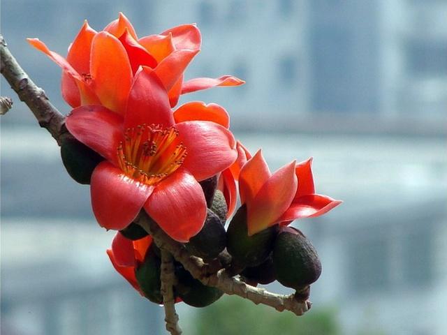那天看到了木棉花时小时候爬树找花里蜜的情景真是历历在目.