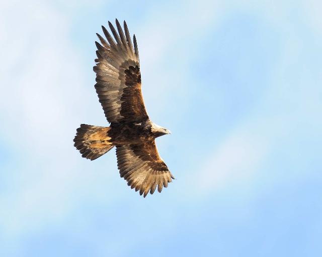 巴里机场甚至训化金雕驱赶机场周边的飞禽和小动物