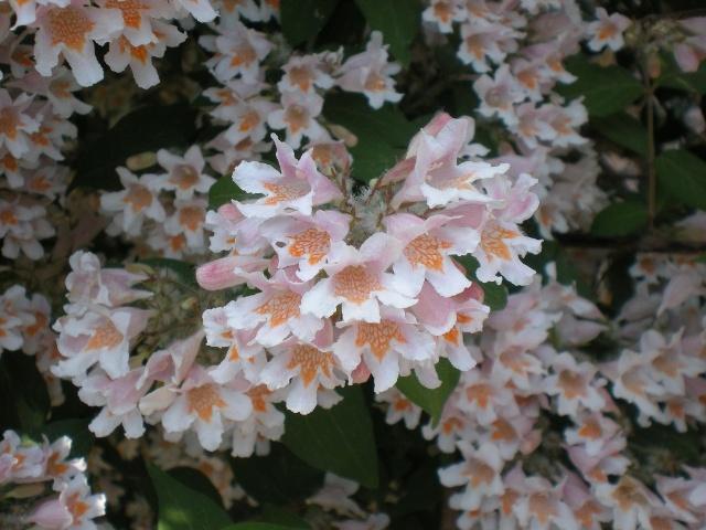 美丽的花灌木:猬实也疯狂!