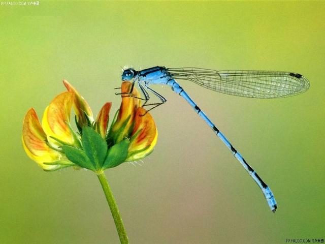 蜻蜓(仿生学--直升飞机)