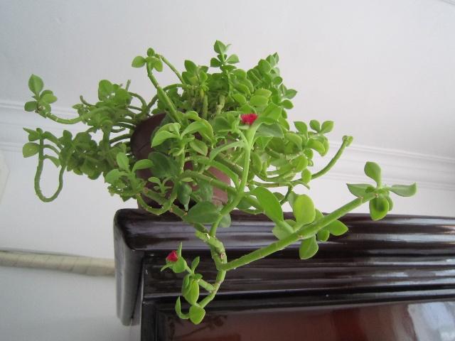 牡丹吊兰-带刺的玫瑰-搜狐博客
